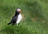 stock photo of faroe islands  - Fratercula arctica on the island Mykines - JPG