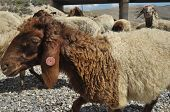 pic of euphrat  - Spent sheep from pasture - JPG