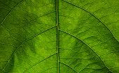 image of tree leaves  - Close up green texture of tree leaf - JPG