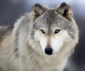 stock photo of predator  - Close up head and shoulders image of a timber wolf or gray wolf - JPG