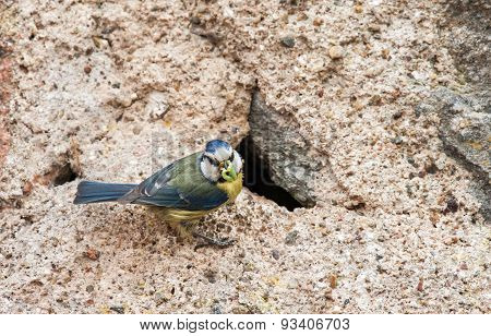 Blue tit at nest