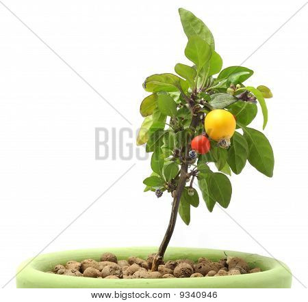 Decorative Pepper in Pot
