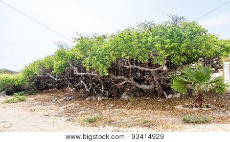 Row Of Manchineel Trees