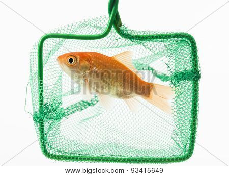 trapped goldfish