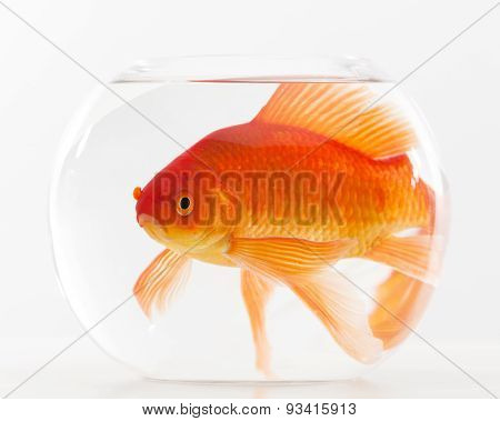 sad goldfish in small fishbowl
