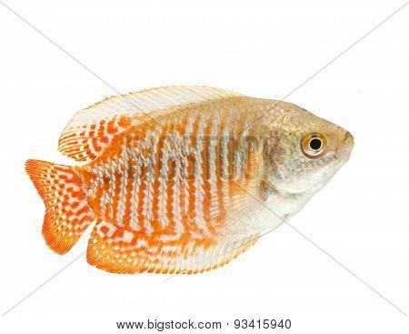 Gourami fish isolated on white