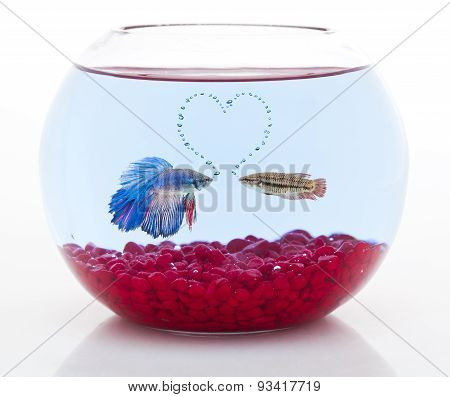 male and females betta fish demonstrating their love forming a heart shape with air bubbles