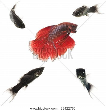Red fish among black ones