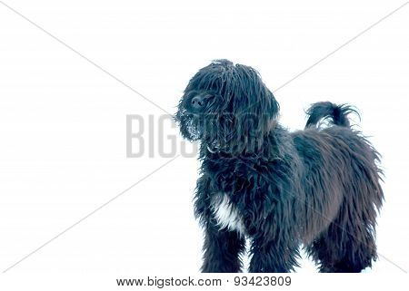 Black Hairy Dog With Snow  On A Face