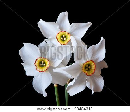 White Narcissus flowers