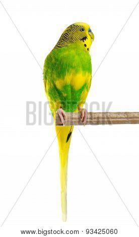 Budgerigar. Parrot.