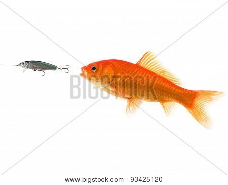 fish chasing lure