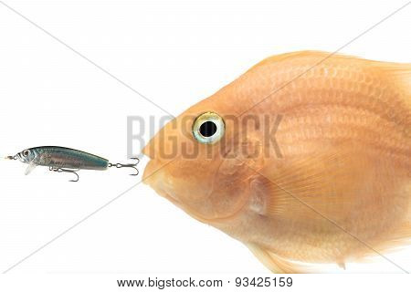 fish chasing fishing lure