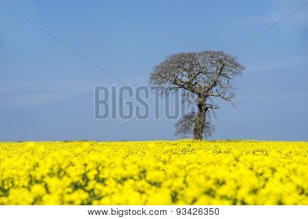 Tree In A Field Of Flowering Oil Seed Rape