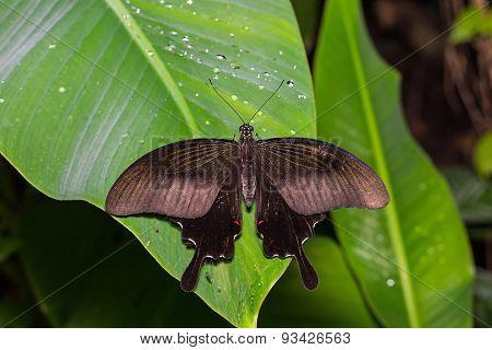 Red Helen Butterfly