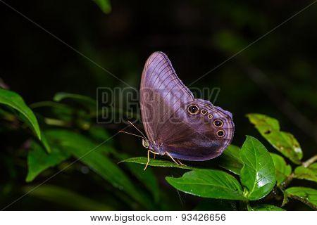 Scarce Catseye Butterfly