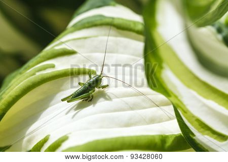 Green Grasshopper On White Leaf Of Funkia Plant