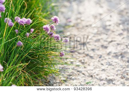 Green Grass And Pink Chives Flowers On Roadside
