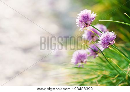 Pink Chives Flowers Close Up On Roadside