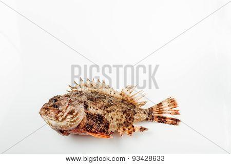 Fresh whole scorpion fish