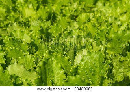 Salad Vegetables Plant Background