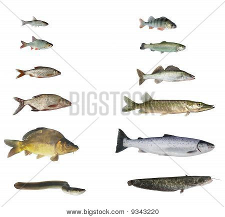 Fish Of Rivers And Lakes
