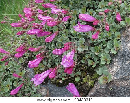 Rock Penstemon - Penstemon rupicola
