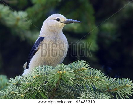 Clark's Nutcracker on a Branch