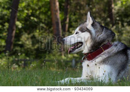 Siberian Husky lies in the shade.