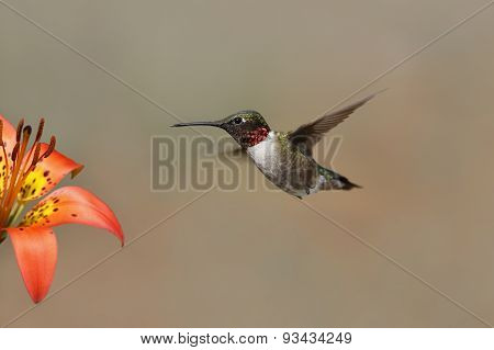 Ruby-throated Hummingbird Hovering Next To A Wood Lily
