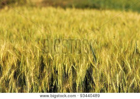 Blur Yellow Barley Field