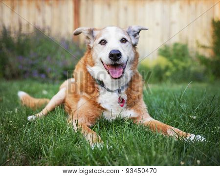 a senior dog laying in the grass in a backyard smiling at the camera