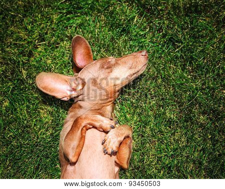 a happy dachshund on fresh green grass with his ears out