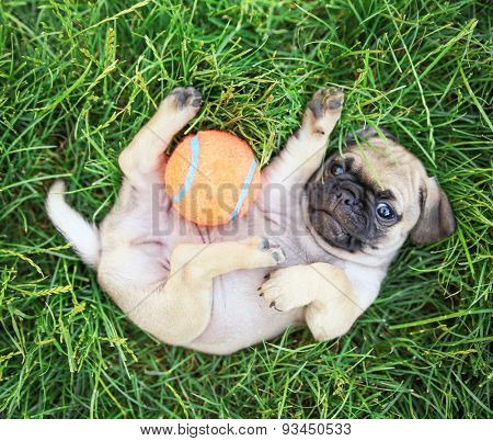 a cute baby pug chihuahua mix puppy playing with an orange tennis ball in the grassy clover during summer