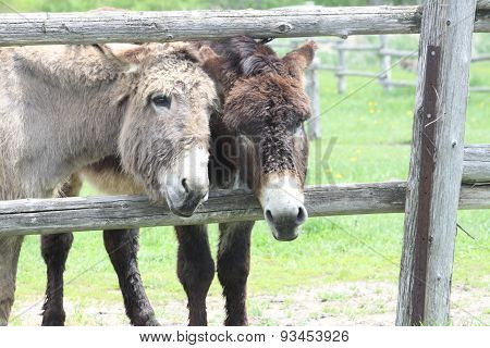 Donkey's at Fence