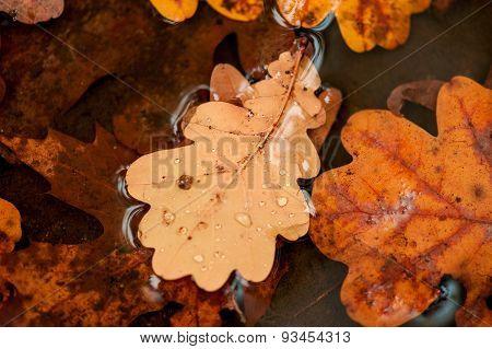 Fallen Oak Leaves In A Puddle Closeup
