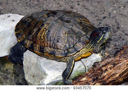 Red-eared Slider turtle Latin name Trachemys scripta elegans