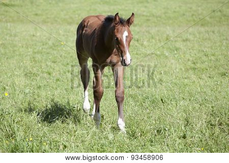 Young Holsteiner Foals