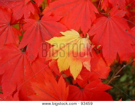 Japanes Maple Leaves Changing Colour - 3