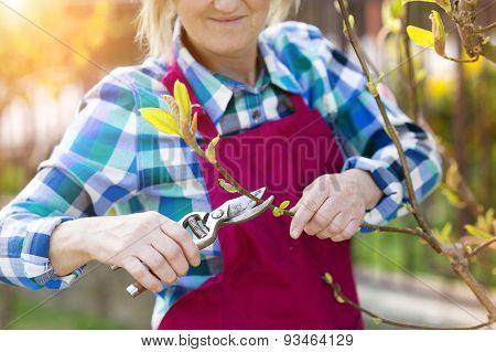 Woman pruning magnolia tree