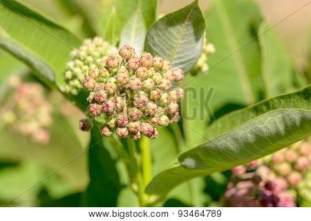 Asclepias Buds