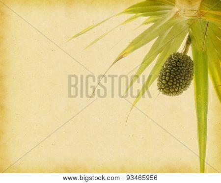 Screw Pine (Pandanus tectorius or Pandanus odoratissimus) on old paper