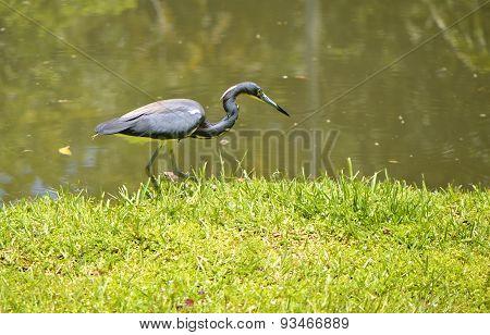Tricoloured heron Latin name Egretta tricolor