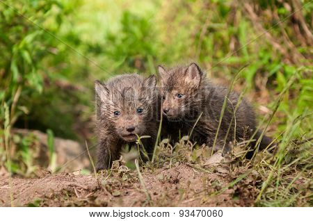 Red Fox Kits (vulpes Vulpes) Stand Outside Den
