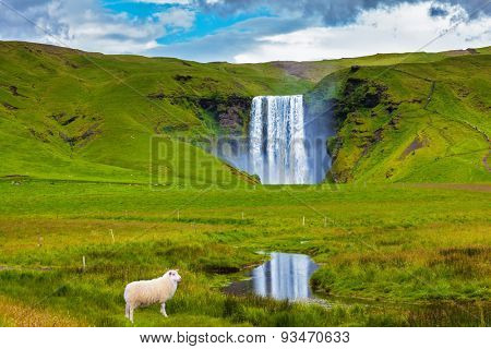 On a meadow before falls the white lamb is grazed. Grandiose falls Skogafoss in Iceland
