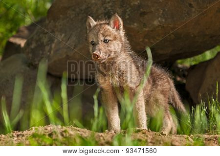 Grey Wolf (canis Lupus) Pup Stands In Front Of Den