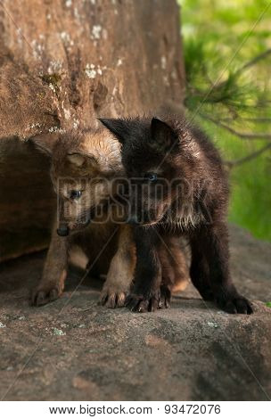 Grey Wolf (canis Lupus) Pups Look Down Off Rock