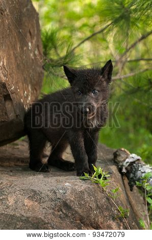 Black Wolf (canis Lupus) Pup Stands Atop Rock