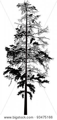 illustration with fir tree isolated on white background