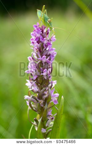 Early Marsh-orchid (Dactylorhiza incarnata)